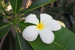 Άσπρα λουλούδια Plumeria στο πράσινο φύλλο Στοκ φωτογραφίες με δικαίωμα ελεύθερης χρήσης