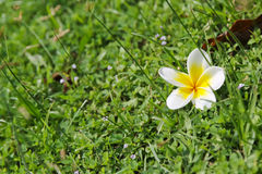 Άσπρα λουλούδια Plumeria στο υπόβαθρο χλόης Στοκ εικόνα με δικαίωμα ελεύθερης χρήσης