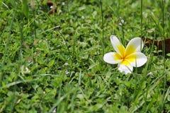 Άσπρα λουλούδια Plumeria στο υπόβαθρο χλόης Στοκ φωτογραφία με δικαίωμα ελεύθερης χρήσης