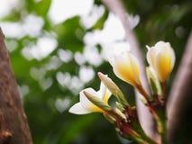 άσπρα λουλούδια plumeria Στοκ Εικόνα