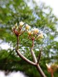 άσπρα λουλούδια plumeria Στοκ εικόνες με δικαίωμα ελεύθερης χρήσης