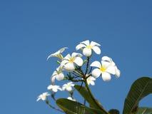 Άσπρα λουλούδια Plumeria Frangipani στο σαφή μπλε ουρανό Στοκ φωτογραφία με δικαίωμα ελεύθερης χρήσης