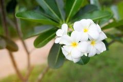 Άσπρα λουλούδια Plumeria Frangipani Στοκ Εικόνες