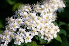 Άσπρα λουλούδια Spiraea (Meadowsweet) Στοκ Εικόνες