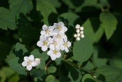 Άσπρα λουλούδια Spiraea (Meadowsweet) Στοκ Φωτογραφία