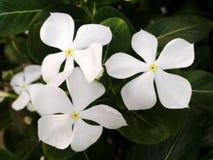 Άσπρα λουλούδια vinca Στοκ Φωτογραφία