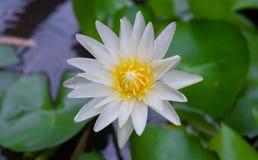 Άσπρα λουλούδι λωτού και φύλλο λωτού Στοκ φωτογραφία με δικαίωμα ελεύθερης χρήσης