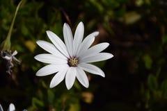 Άσπρα πέταλα λουλουδιών Στοκ Εικόνες
