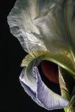 άσπρα πέταλα ίριδων Στοκ Φωτογραφία