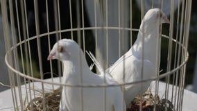 Άσπρα περιστέρια σε ένα κλουβί μια ηλιόλουστη ημέρα πριν από τη γαμήλια τελετή απόθεμα βίντεο