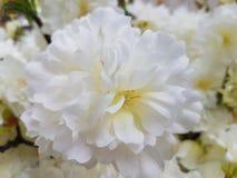 Άσπρα πλαστικά λουλούδια παπαρουνών Στοκ εικόνες με δικαίωμα ελεύθερης χρήσης
