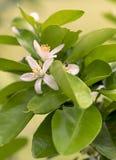 Άσπρα πορτοκαλιά λουλούδια ανθών Στοκ Εικόνα