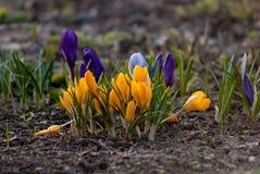 Άσπρα, πορφυρά και κίτρινα λουλούδια κρόκων άνθισης άνοιξη Στοκ Εικόνες