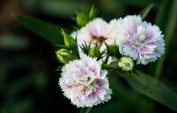 Άσπρα πορφυρά λουλούδια στον κήπο Στοκ φωτογραφία με δικαίωμα ελεύθερης χρήσης