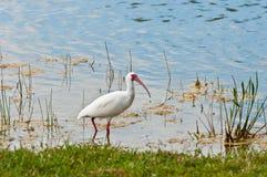 Άσπρα πουλιά θρεσκιορνιθών που ταΐζουν σε μια λίμνη Στοκ Φωτογραφίες