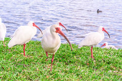 Άσπρα πουλιά θρεσκιορνιθών στο πάρκο λιμνών Στοκ Φωτογραφία