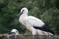 Άσπρα πουλιά μωρών πελαργών σε μια φωλιά, ciconia Ciconia Στοκ Φωτογραφία