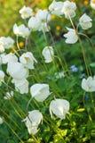 Άσπρα πράσινα φύλλα anemone μια ηλιόλουστη ημέρα Στοκ Φωτογραφίες