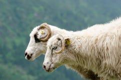 2 άσπρα πρόβατα κοντά σε έναν απότομο με το πράσινο υπόβαθρο δέντρων Στοκ φωτογραφία με δικαίωμα ελεύθερης χρήσης