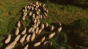Άσπρα πρόβατα που περπατούν στη χλόη φιλμ μικρού μήκους