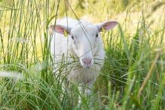 Άσπρα πρόβατα σε έναν τομέα Στοκ Εικόνες