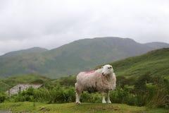 Άσπρα πρόβατα στην επαρχία πάνω από ένα ανάχωμα με το βουνό ι Στοκ Εικόνα
