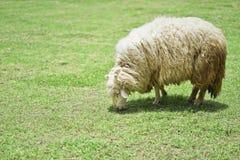 Άσπρα πρόβατα στη φύση στο λιβάδι Στοκ Εικόνα