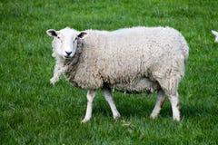 Άσπρα πρόβατα στους τομείς Στοκ Εικόνα