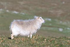 Άσπρα πρόβατα Στοκ εικόνες με δικαίωμα ελεύθερης χρήσης