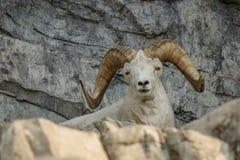 Άσπρα πρόβατα Dall στον καναδικό ζωολογικό κήπο Στοκ φωτογραφίες με δικαίωμα ελεύθερης χρήσης