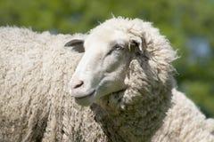 Άσπρα πρόβατα (ovis aries) Στοκ Εικόνες