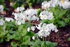 Άσπρα πλήρη φγμένα λουλούδια χρώματος Στοκ Εικόνες