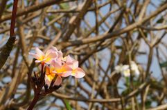 Άσπρα, ρόδινα και κίτρινα λουλούδια Plumeria στην Ταϊλάνδη Στοκ φωτογραφίες με δικαίωμα ελεύθερης χρήσης