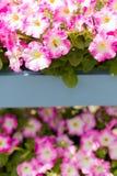 Άσπρα ρόδινα λουλούδια πετουνιών στα ξύλινα τοποθετημένα σε ράφι δοχεία παλετών Στοκ εικόνες με δικαίωμα ελεύθερης χρήσης