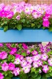 Άσπρα ρόδινα λουλούδια πετουνιών στα ξύλινα τοποθετημένα σε ράφι δοχεία παλετών Στοκ φωτογραφίες με δικαίωμα ελεύθερης χρήσης