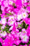 Άσπρα ρόδινα λουλούδια πετουνιών στα ξύλινα τοποθετημένα σε ράφι δοχεία παλετών Στοκ Εικόνα