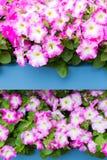Άσπρα ρόδινα λουλούδια πετουνιών στα ξύλινα τοποθετημένα σε ράφι δοχεία παλετών Στοκ Φωτογραφίες