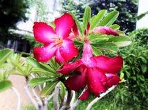 Άσπρα ρόδινα λουλούδια στον κήπο Στοκ Εικόνες