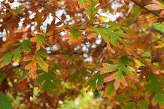 Άσπρα δρύινα φύλλα δέντρων που μετατρέπονται σε κίτρινη σκιά φθινοπώρου κατά τη διάρκεια του φ Στοκ εικόνα με δικαίωμα ελεύθερης χρήσης