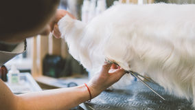 Άσπρα σκυλιά ψαλιδιού κουρέματος Καλλωπισμός σκυλιών στο σαλόνι καλλωπισμού εστίαση ρηχή Στοκ Εικόνες