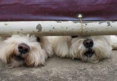 2 άσπρα σκυλιά στοκ φωτογραφία