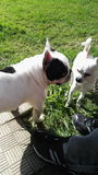 Άσπρα σκυλιά Twoo Στοκ φωτογραφία με δικαίωμα ελεύθερης χρήσης