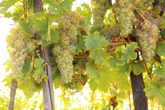 Άσπρα σταφύλια, κρασί Στοκ Εικόνες