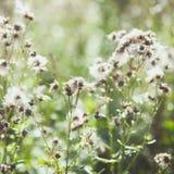 Άσπρα συγκεχυμένα άγρια λουλούδια burdock με τους πετώντας σπόρους Στοκ Εικόνα