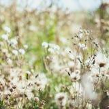 Άσπρα συγκεχυμένα άγρια λουλούδια burdock με τους πετώντας σπόρους Στοκ Εικόνες