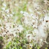 Άσπρα συγκεχυμένα άγρια λουλούδια burdock με τους πετώντας σπόρους Στοκ Φωτογραφίες