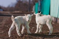 Άσπρα συμπαθητικά μικρά goatlings που εξερευνούν τον κόσμο στοκ εικόνες