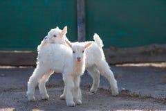 Άσπρα συμπαθητικά μικρά goatlings που εξερευνούν τον κόσμο στοκ φωτογραφίες