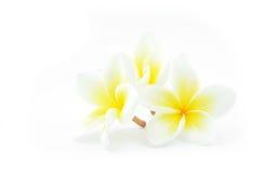 Άσπρα τρία λουλούδια Plumeria Στοκ Εικόνες