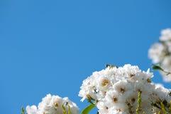 Άσπρα τριαντάφυλλα και υπόβαθρο μπλε ουρανού Στοκ φωτογραφία με δικαίωμα ελεύθερης χρήσης